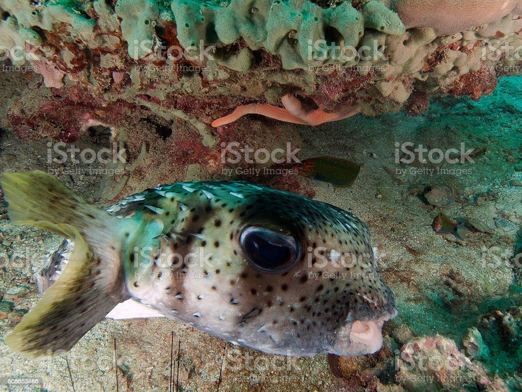 porcupine fish hiding under a coral stock photo