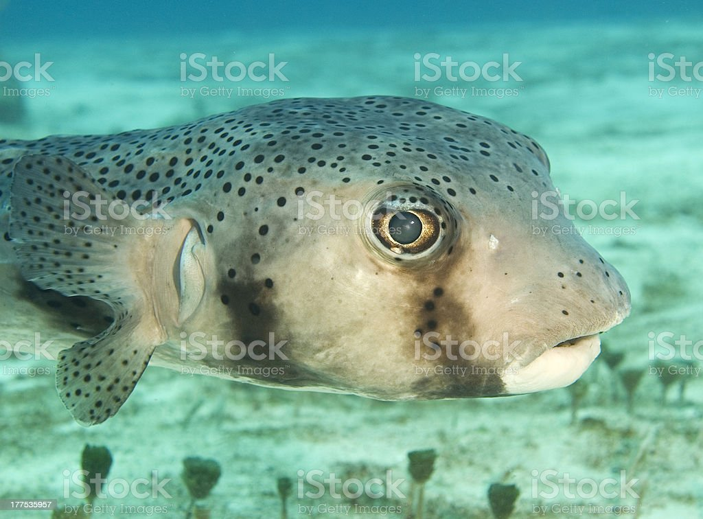 porcupine fish on the sea-bed stock photo