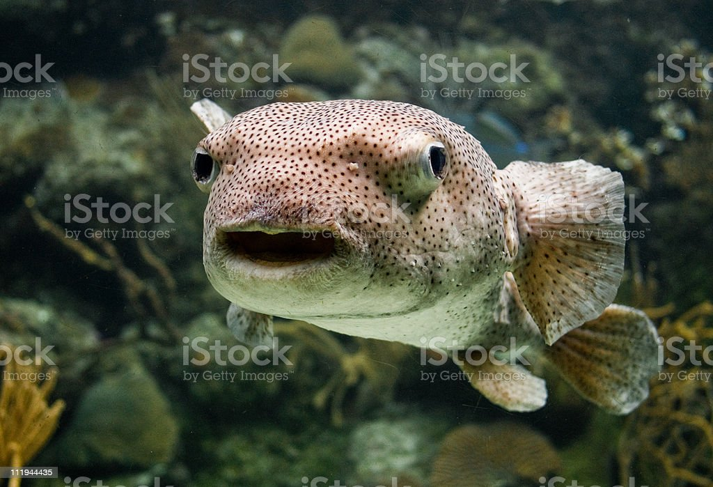 Porcupine Fish stock photo