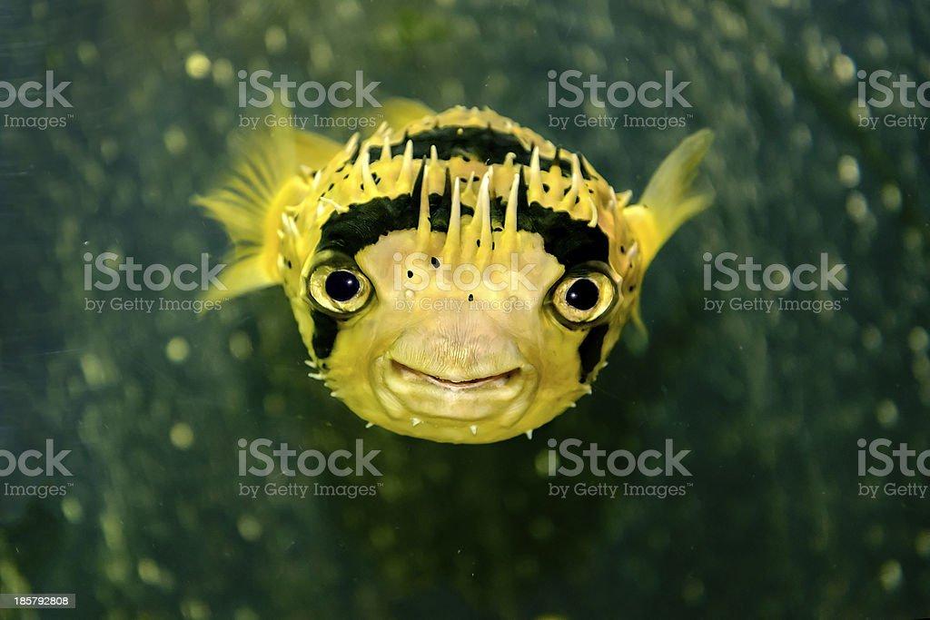 Porcupine fish stock photo