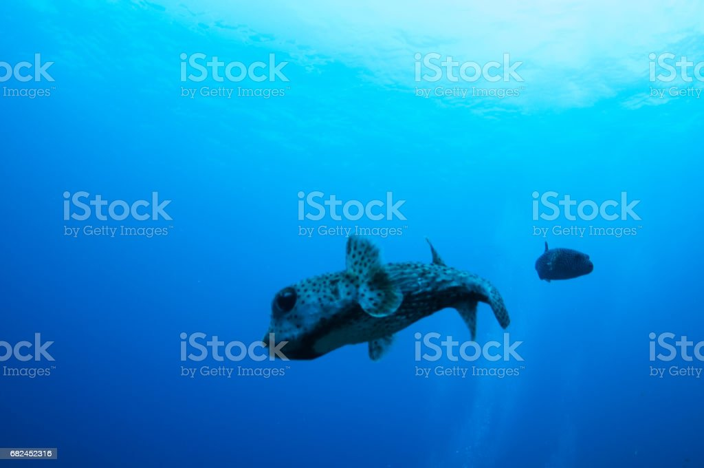 porcupine fish turning in front of blue background stock photo