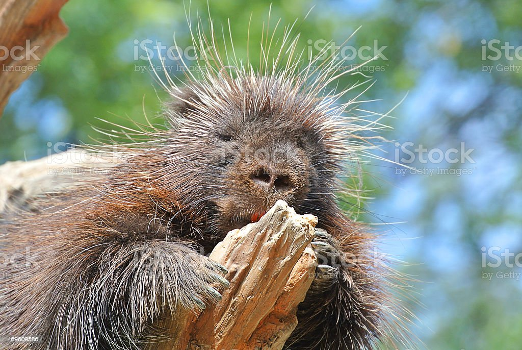 Porcupine good look stock photo