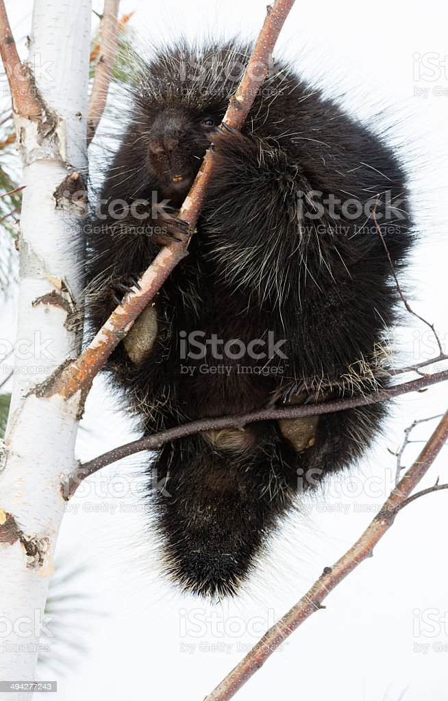 Porcupine in a tree stock photo