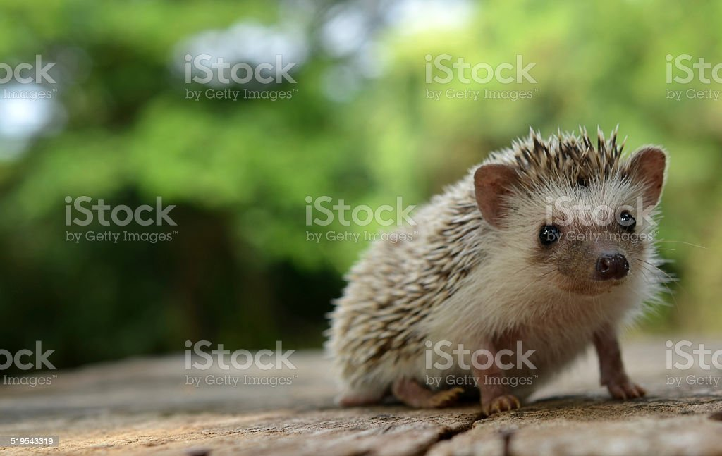 Porcupine  in the nature stock photo