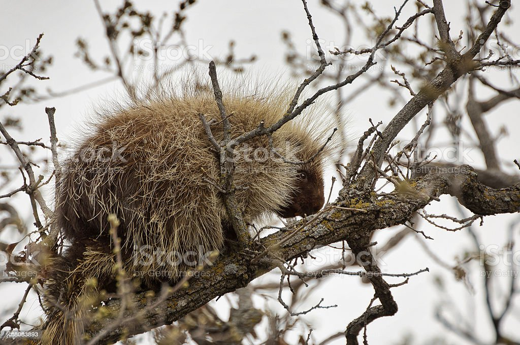 Porcupine in Tree - Manitoba stock photo