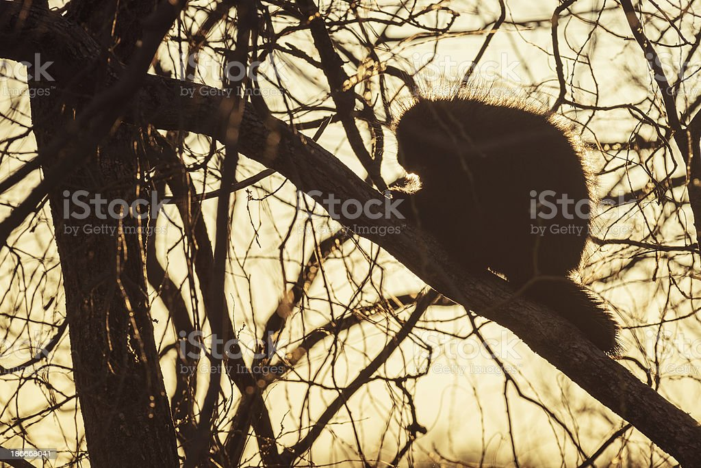 Porcupine in Tree royalty-free stock photo