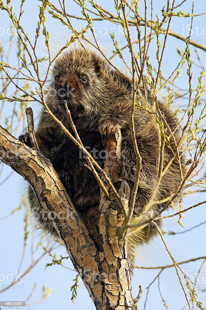 Porcupine in Tree stock photo