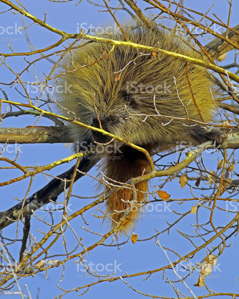 Porcupine in Tree Vertical Format stock photo