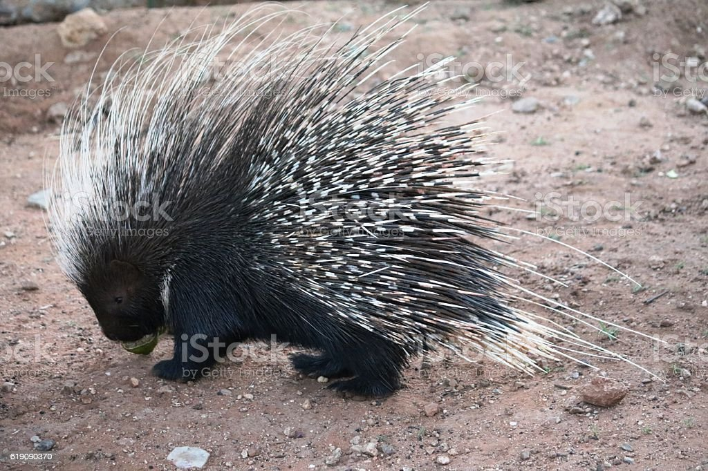 Porcupine is eating in Namibia, Africa stock photo