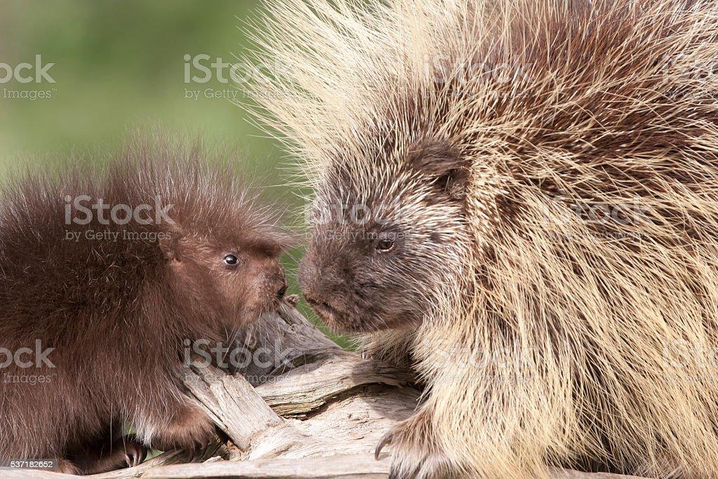 Porcupine Mom Nuzzling Baby stock photo