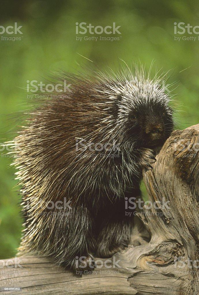 Porcupine on Log royalty-free stock photo