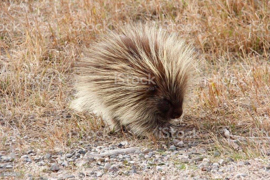 Porcupine outside stock photo
