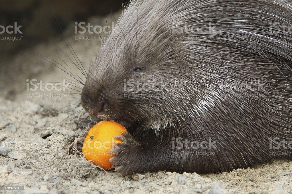 Porcupine stock photo