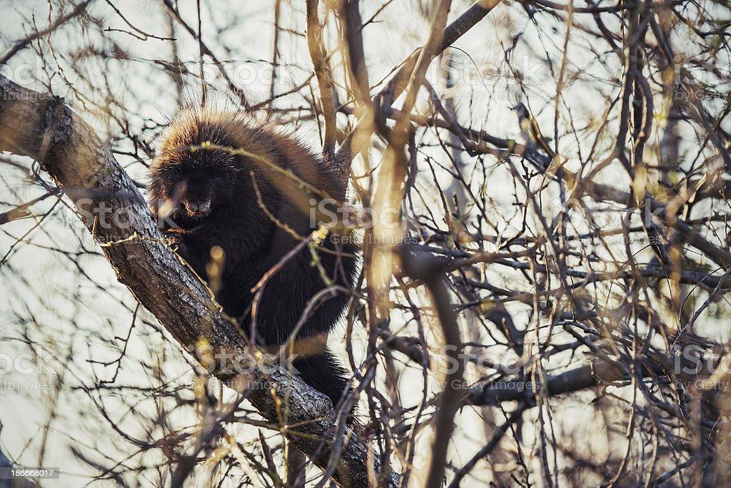 Porcupine royalty-free stock photo