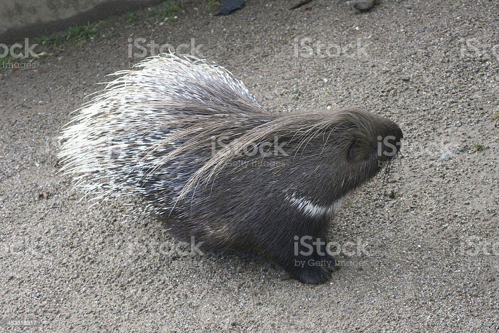 Porcupine   (Hystricidae) royalty-free stock photo