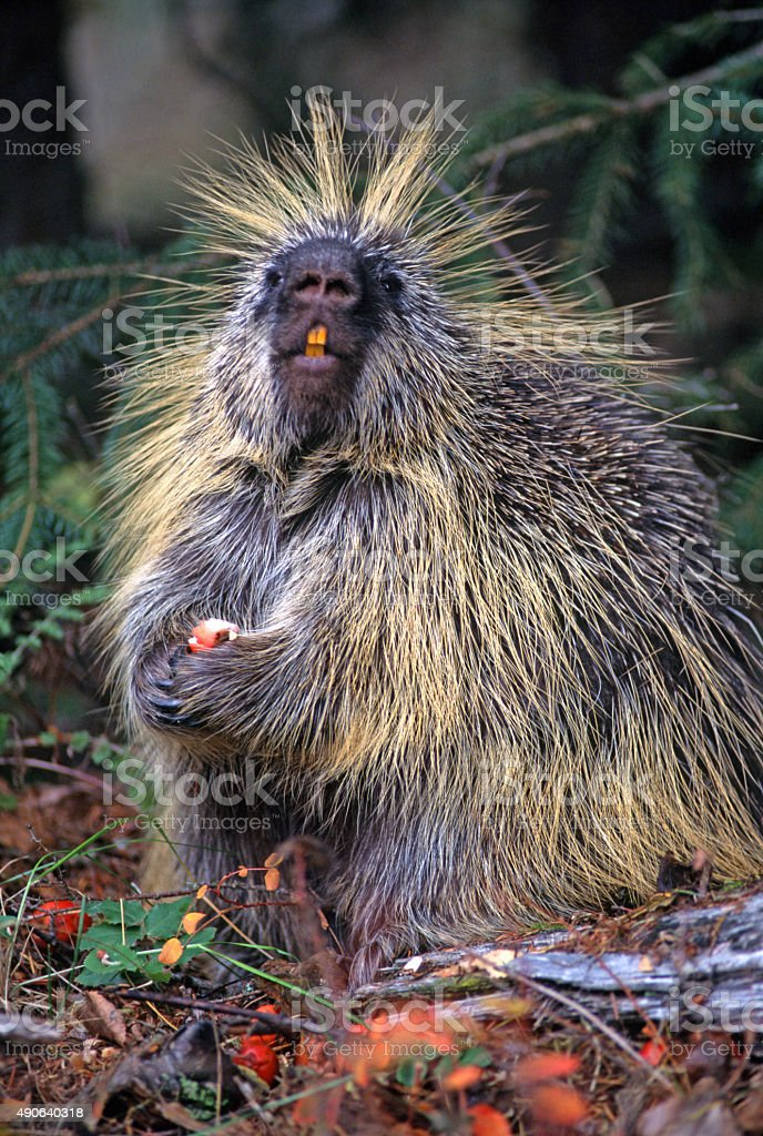 Porcupine (Erethizon dorsatum) stock photo
