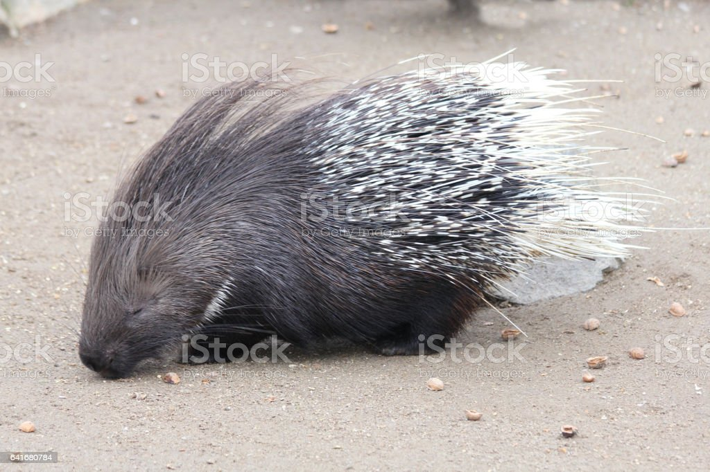 Porcupine (Hystricidae) stock photo