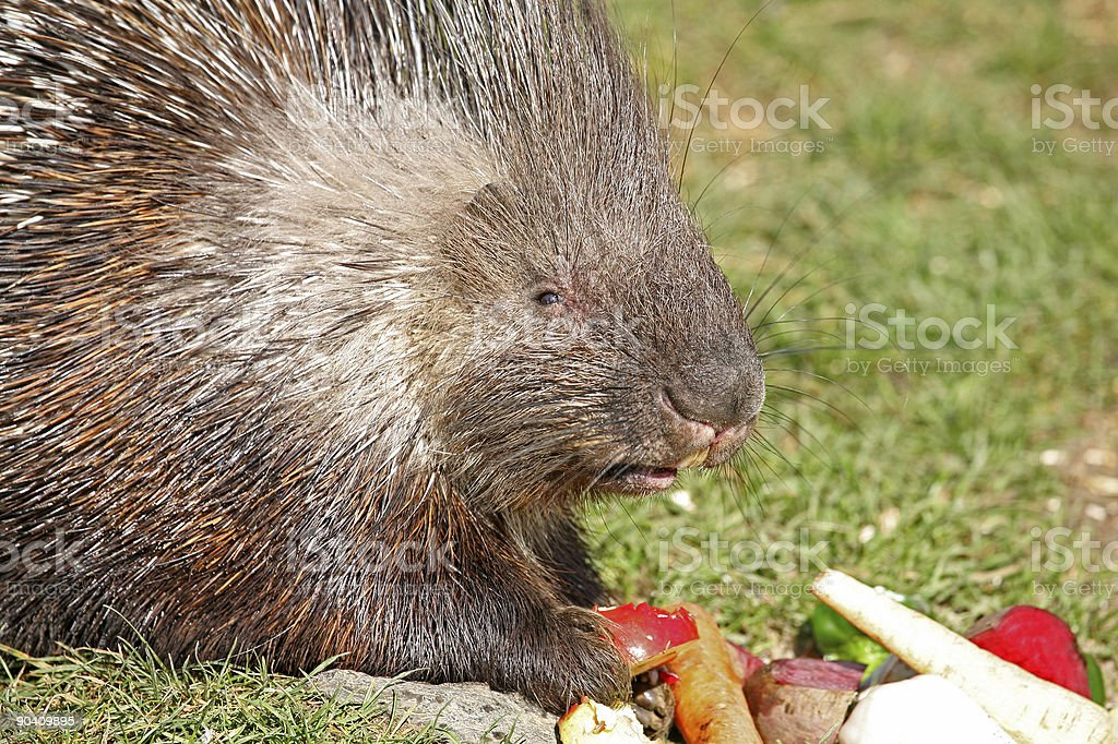 Porcupine royalty-free stock photo