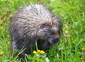 Porcupine - Quebec, Canada