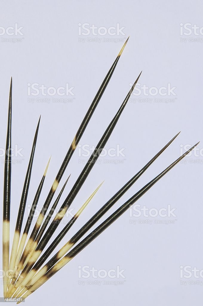 Porcupine Quills - Wildlife Products Background from Africa stock photo