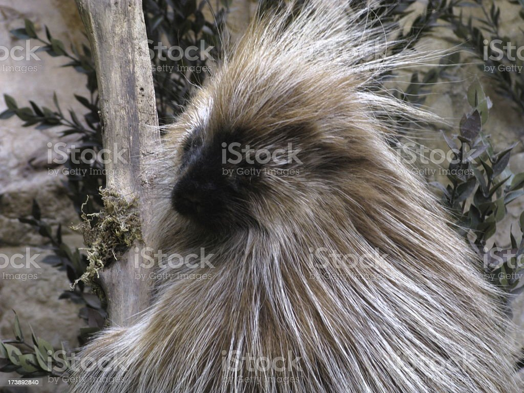 Porcupine Rodent Close Up stock photo