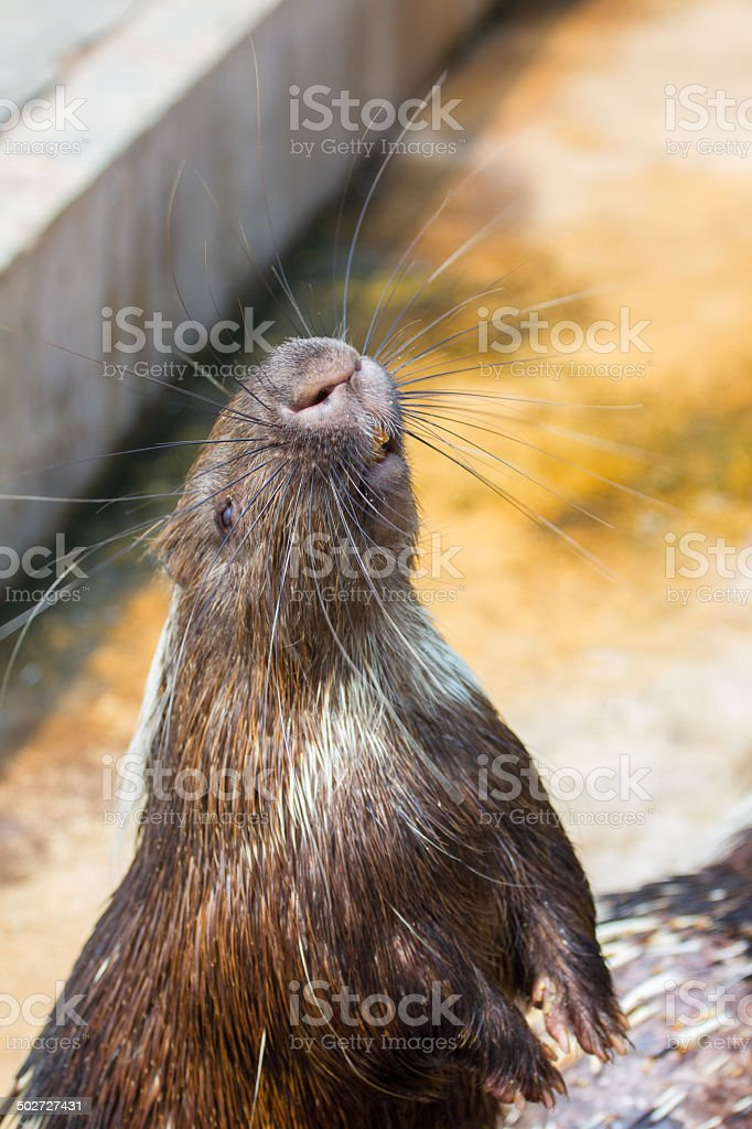 Porcupine standing on hind legs stock photo