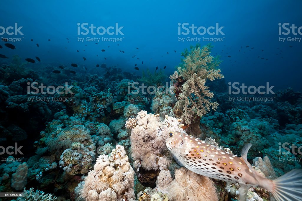 Porcupinefish and underwater scenery in the Red Sea. stock photo