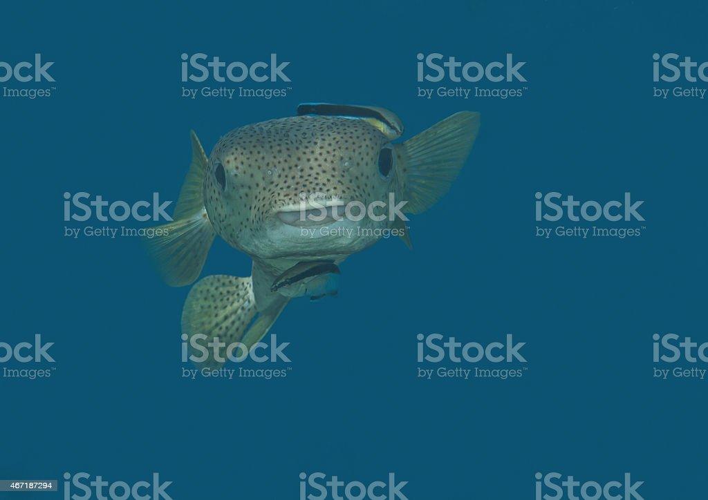 Porcupinefish,  Puffer fish, Bluestreak cleaner wrasse stock photo