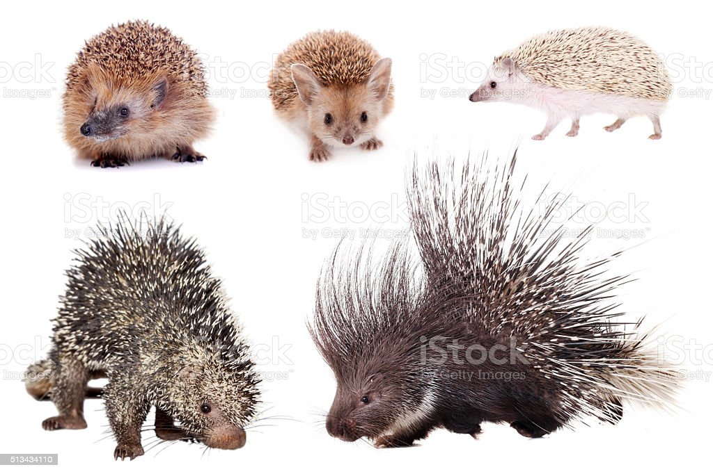 Porcupines and hedgehogs set on white stock photo