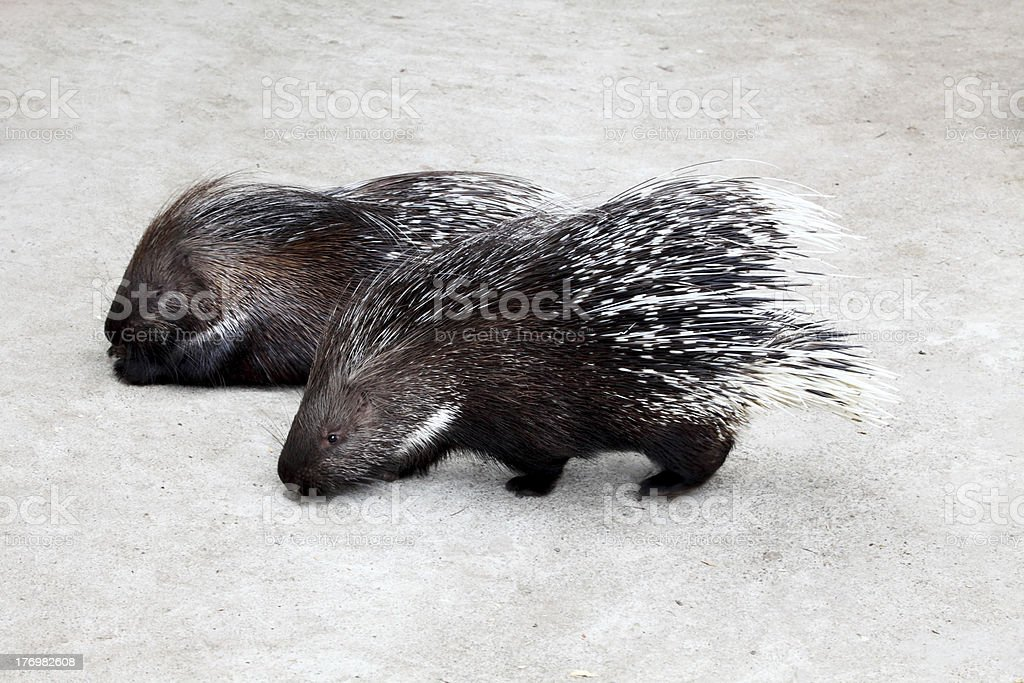 Porcupines stock photo