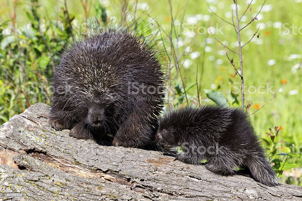 Porcupines stock photo