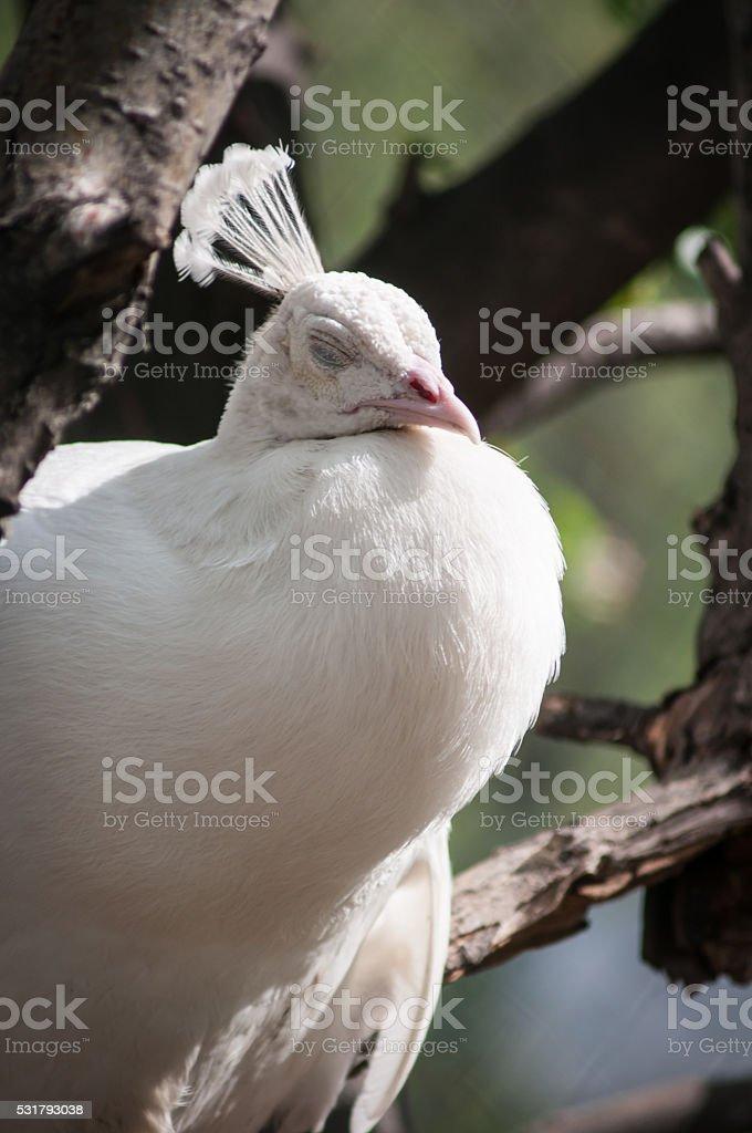 Poretrait d'un Paon blanc photo libre de droits