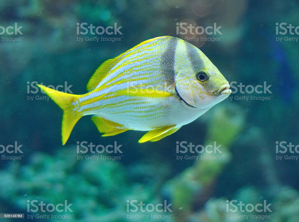 Porkfish grants stock photo