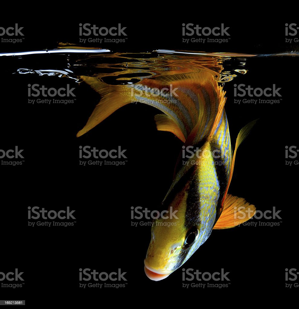 porkfish on black background stock photo