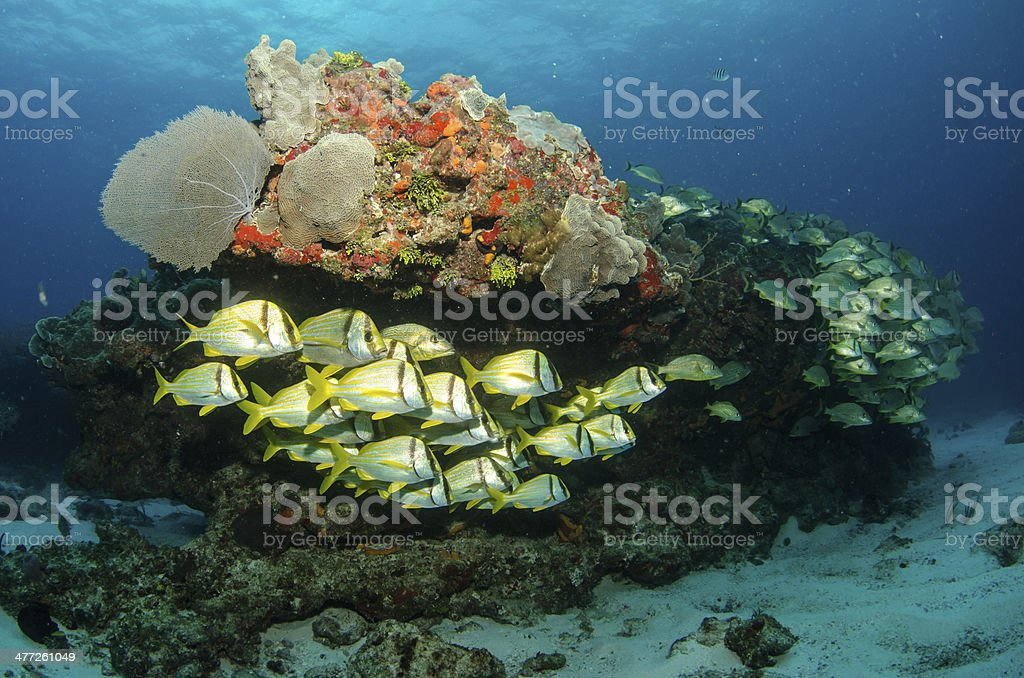 Porkfish stock photo