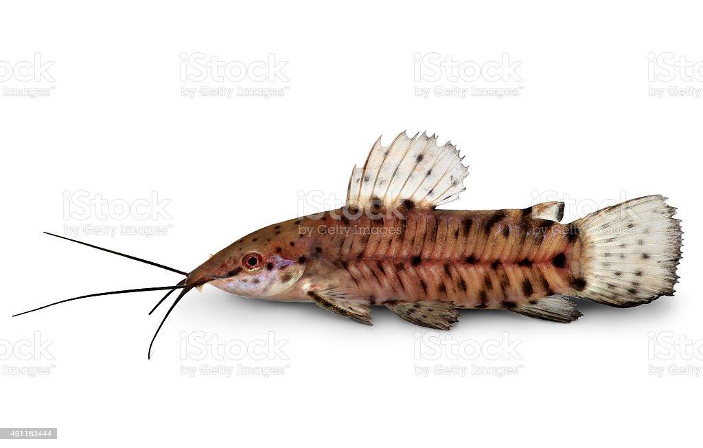 Port Hoplo Catfish Hoplosternum thoracatum aquarium fish stock photo