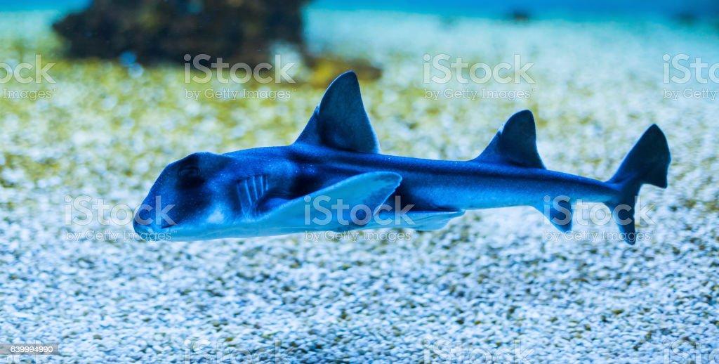 Port Jackson shark stock photo