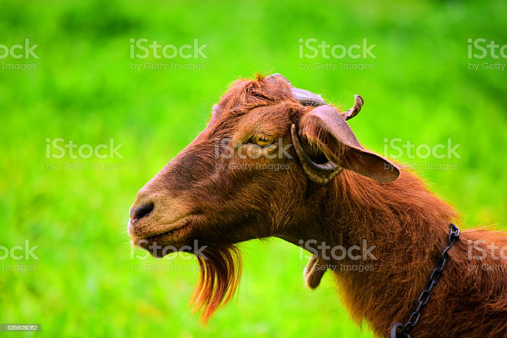 portait of a cute goat with green background stock photo
