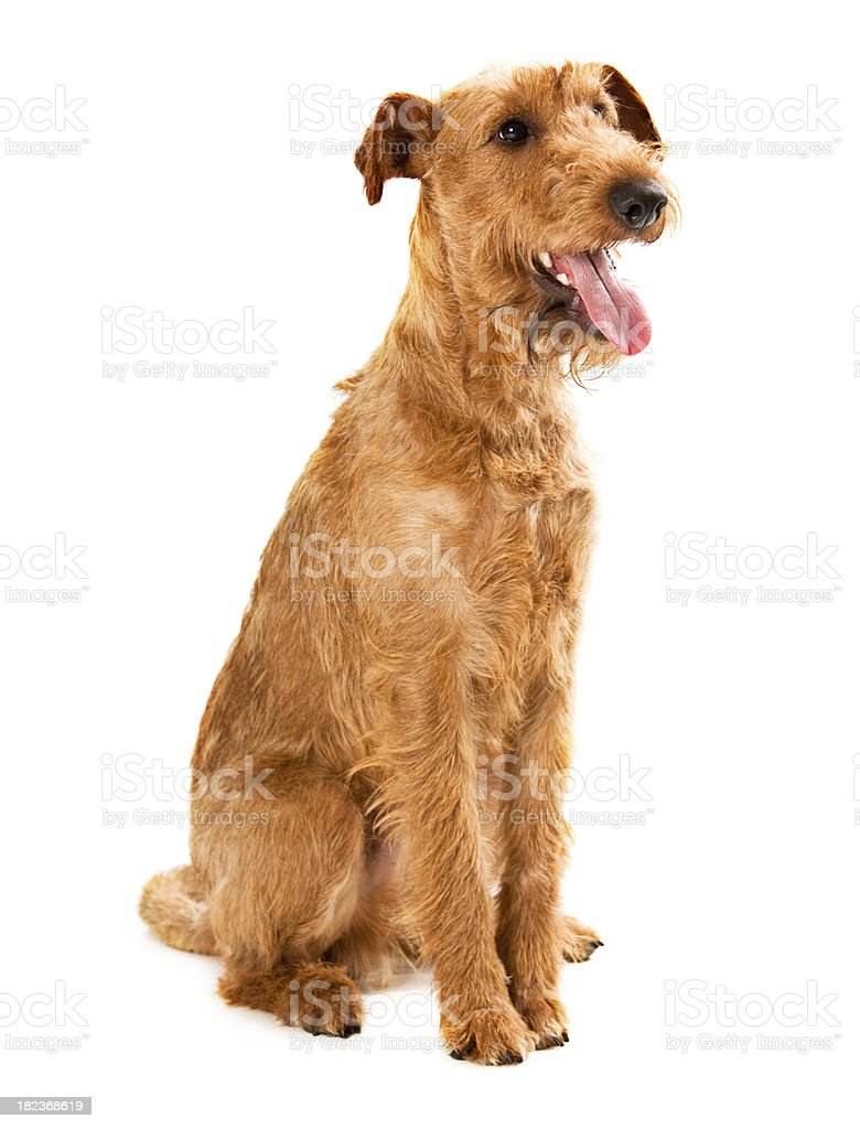 Portait of a Irish Terrier royalty-free stock photo