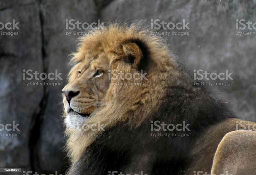 Portait of a Male Lion stock photo