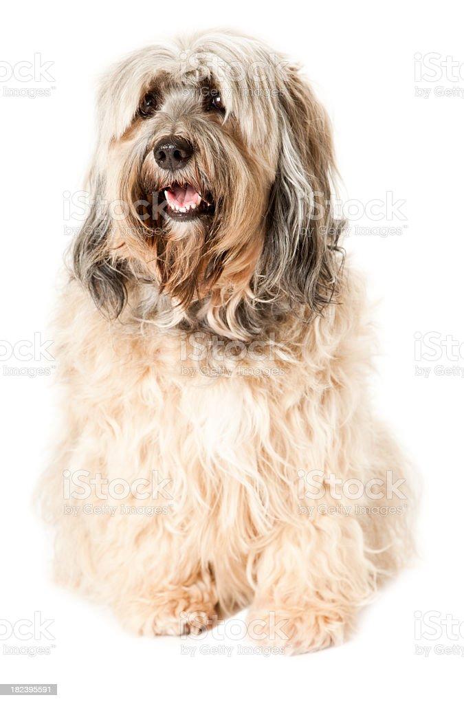 Portait of a Tibetan Terrier stock photo