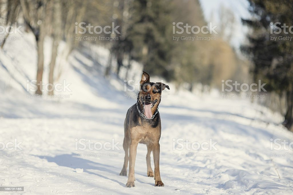 Portait of the dog on snow royalty-free stock photo