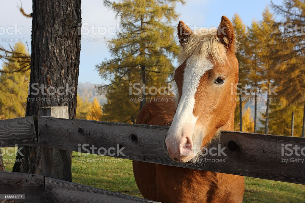 Portait of young Haflinger horse stock photo