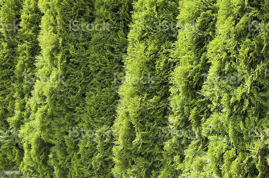 Portion of a Thuja hedge stock photo