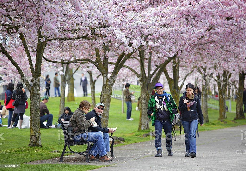 Portland Cherry Blossoms. stock photo