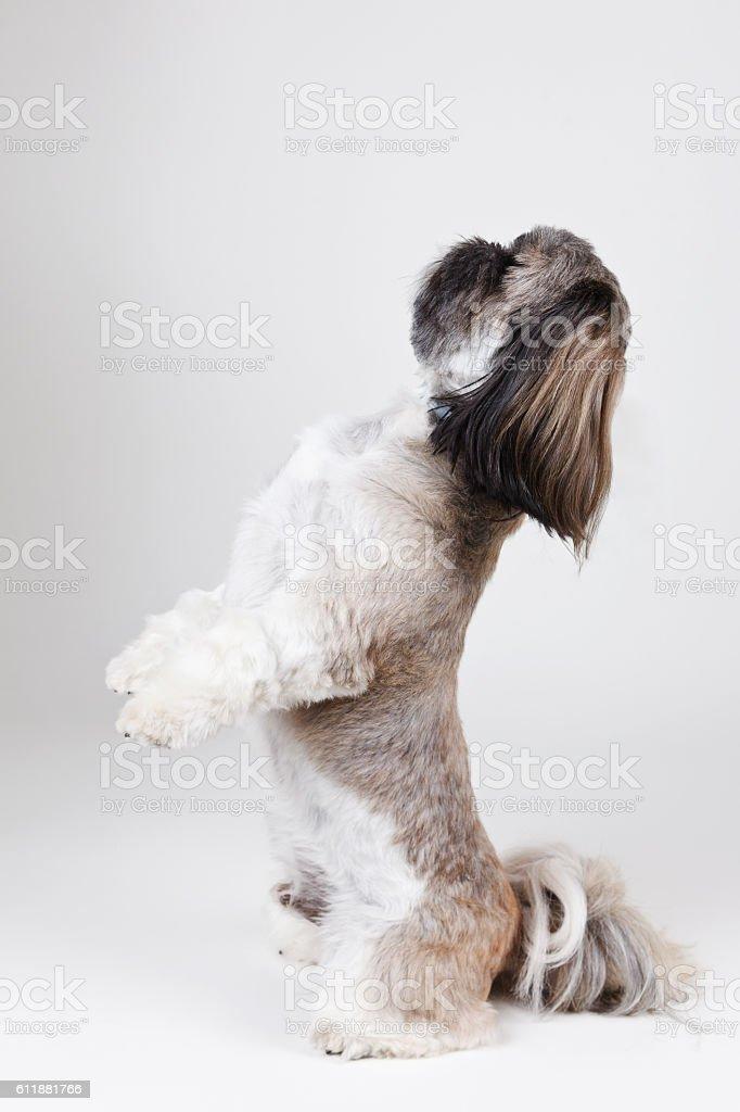 Portraif of a beautiful shih tzu dog stock photo