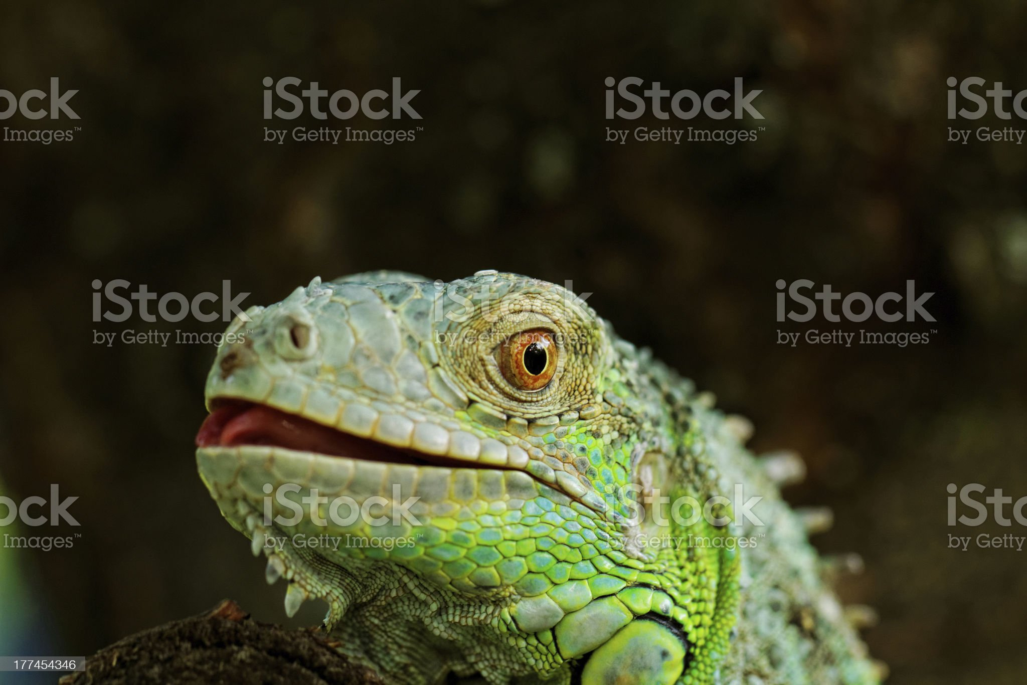 portrait about a green iguana royalty-free stock photo