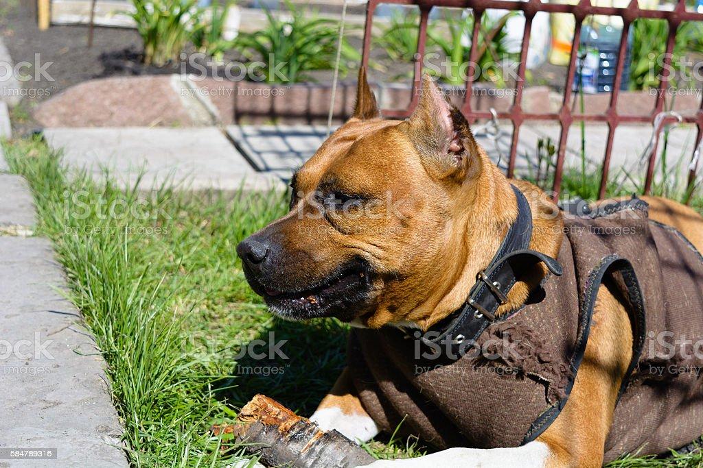 portrait American Staffordshire Terrier stock photo