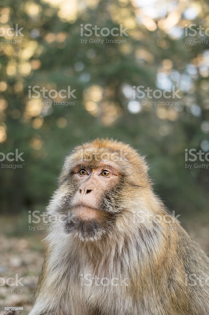 Portrait barbary macaque monkey stock photo