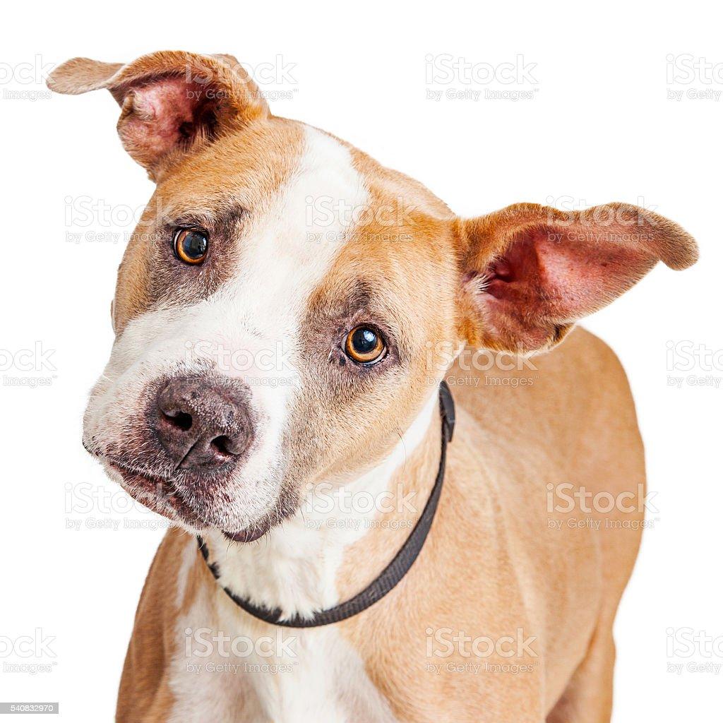 Portrait Big Dog Tilting Head stock photo